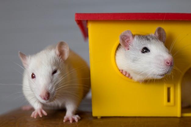Due divertenti topi domestici e una casa giocattolo. Foto Premium