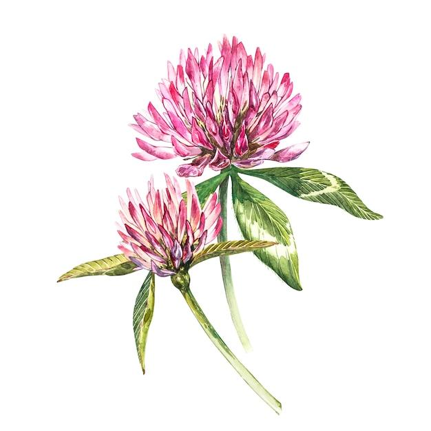 Due fiori di trifoglio rosso con foglie. illustrazione botanica dell'acquerello isolata su bianco. buona festa di san patrizio. Foto Premium