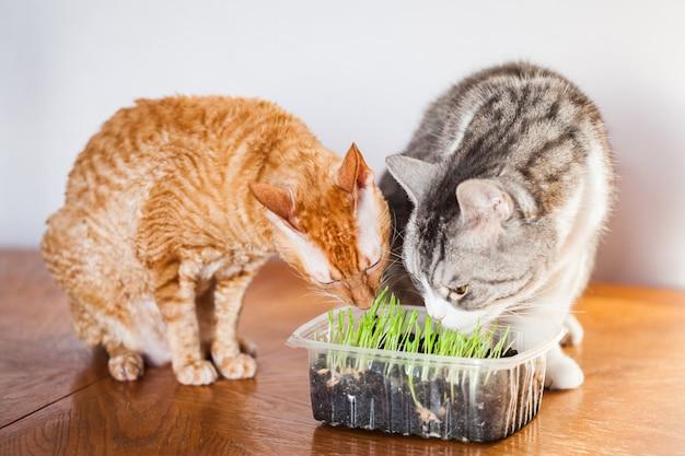 Due gatti mangiavano erba germogliata per loro, la padrona di casa germogliava erba per gatti. Foto Premium