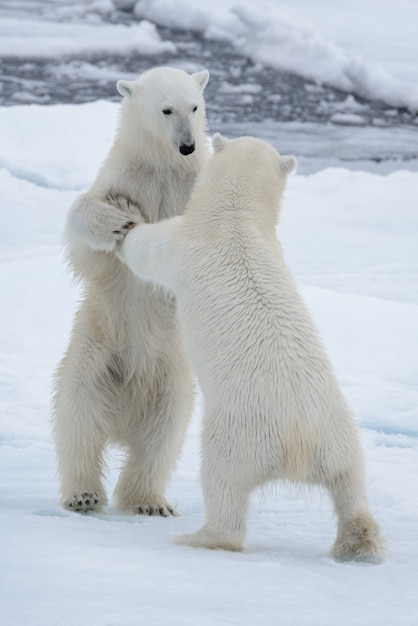 Due giovani orsi polari selvaggi che giocano sul ghiaccio del pacco in mare glaciale artico Foto Premium