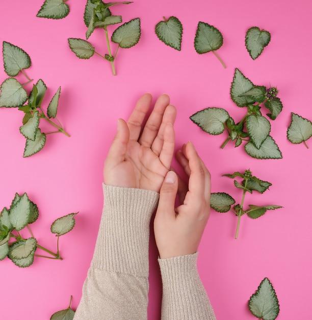 Due mani femminili e foglie verdi fresche di una pianta su uno sfondo rosa Foto Premium