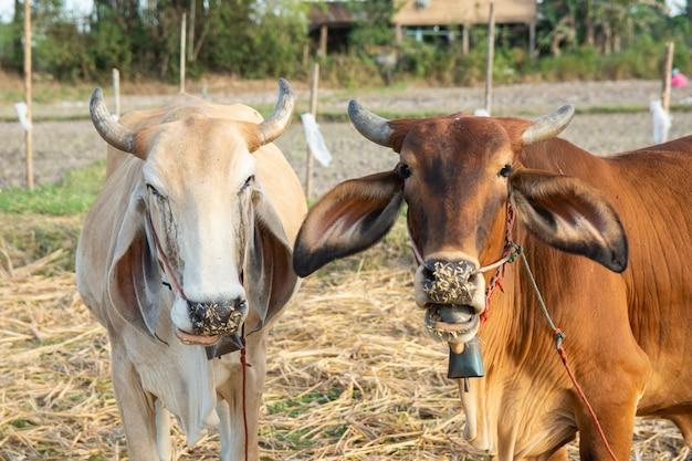 Due mucche bianche e marroni sul campo Foto Premium
