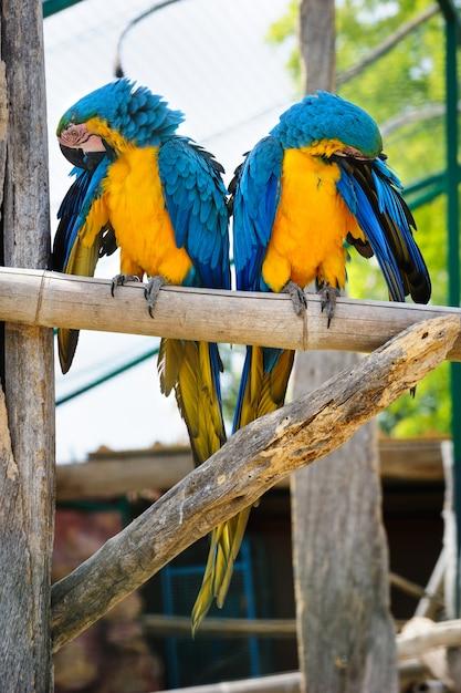 Due pappagalli ara blu e gialli Foto Premium
