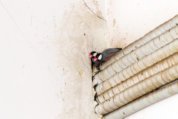 Due passeri java escono dal buco all'angolo del muro. Foto Premium