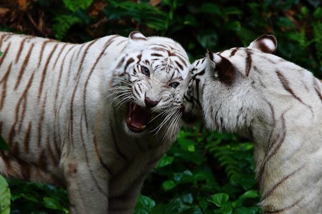 Due tigri bianche che ruggiscono nella giungla Foto Gratuite