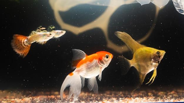 Dumbo betta splendens in materie plastiche che combatte pesce Foto Gratuite