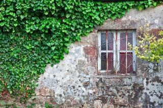 Edera muro grungy Foto Gratuite