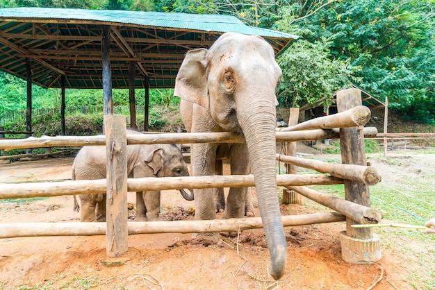 Elefante a chiang mai, thailandia Foto Premium