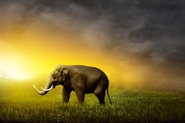 Elefante di sumatra che cammina sul campo Foto Premium