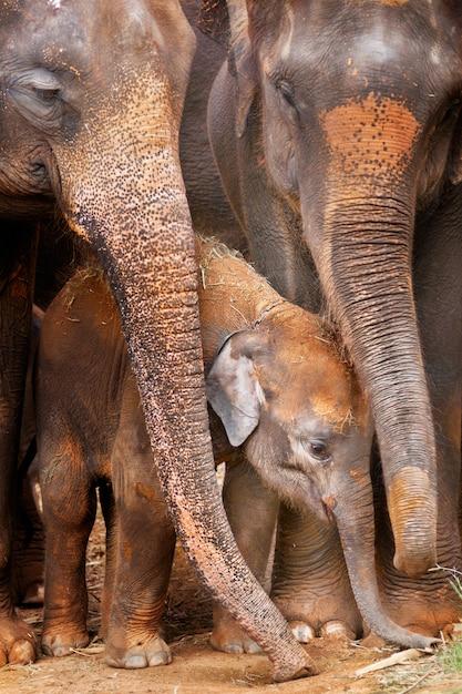 Elefantino asiatico Foto Premium