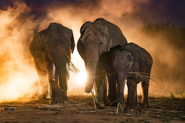 Elephants.family of elephant, surin thailand. Foto Premium