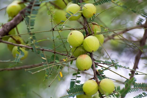 Emblica fresca sull'albero in natura. amla cresce su un albero. uva spina indiana. Foto Premium