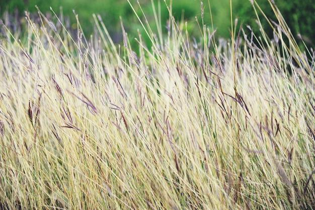 Erba asciutta sul campo nell'estate della natura della foresta / pianta gialla e verde dell'erba sulla sfuocatura della natura Foto Premium