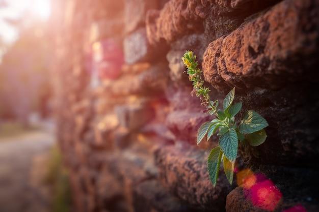 Erba che cresce sul muro di mattoni marrone in un vecchio tempio tailandese contemporaneo. Foto Premium