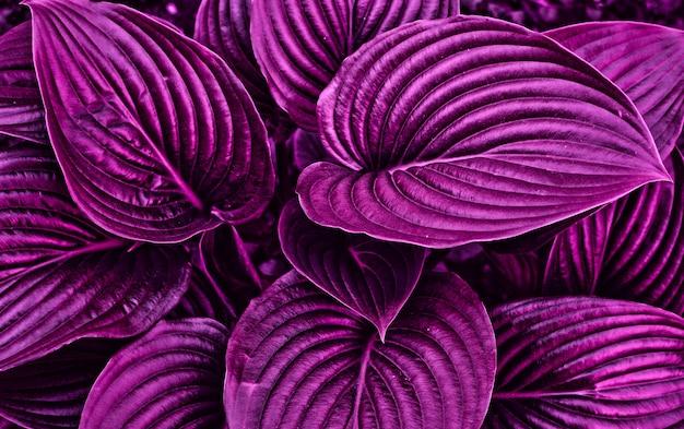 Erba fatata viola con bella luce. chiuda in su. concetto di design. Foto Premium