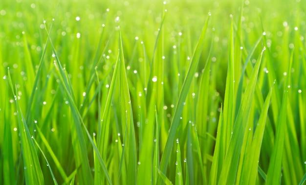 Erba verde con rugiada Foto Premium