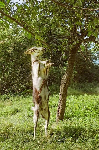 Erba verde e capra succose nell'iarda Foto Premium