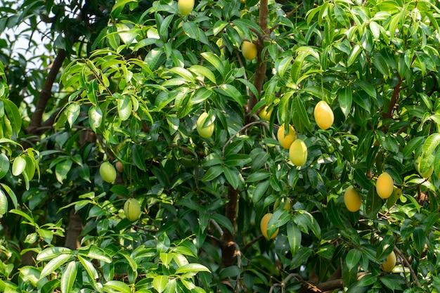Estate di frutta di mango prugna. colore giallo costoso ma delizioso. Foto Premium