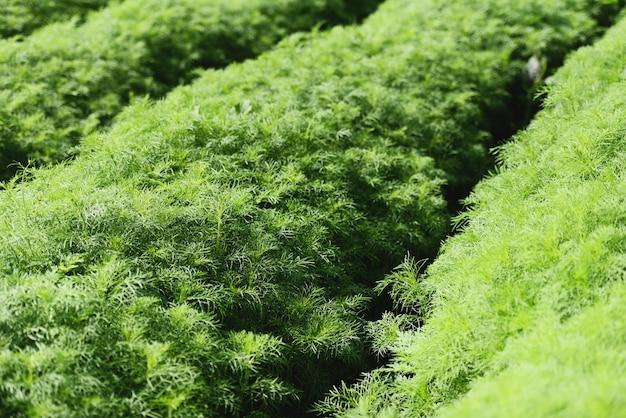 Eupatorium capillifolium - le piante di aneto organico verde crescono nel giardino della fattoria, campo di asparagi Foto Premium