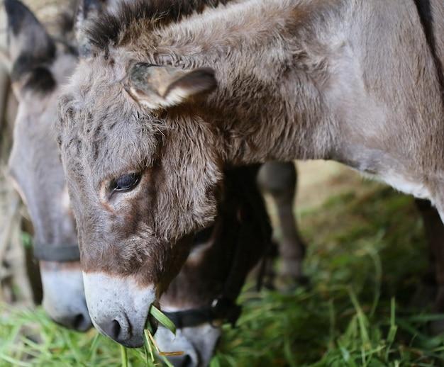 Faccia da mulo in fattoria e sole di sera Foto Premium