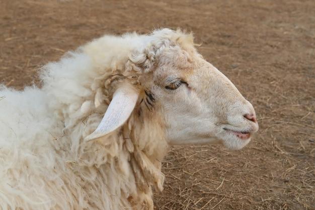 Faccia di pecora, vista laterale Foto Premium