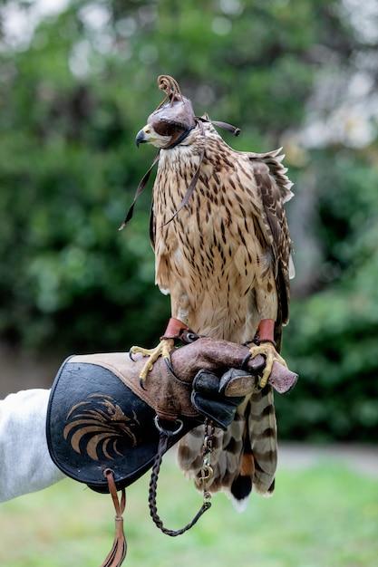 Falco con maschera Foto Premium