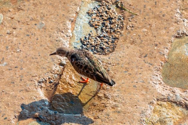 Famiglia di uccelli marini turnstone comune (arenaria interpres, turnstone) camminando sulle rocce e in cerca di cibo Foto Premium
