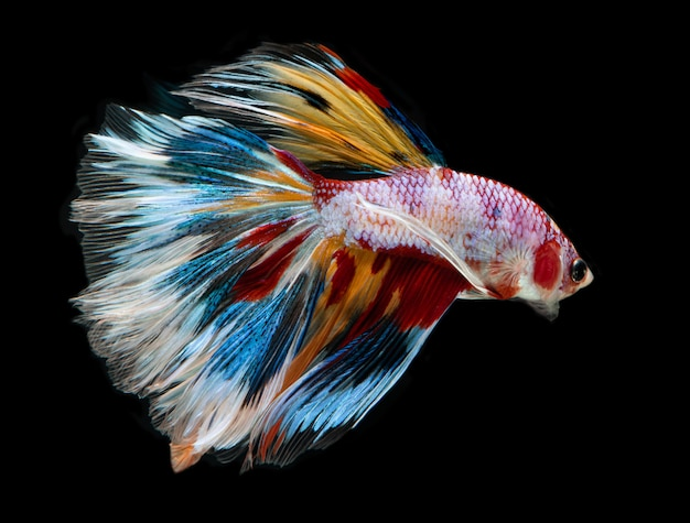 Fantasia di pesci betta color galassia. Foto Premium