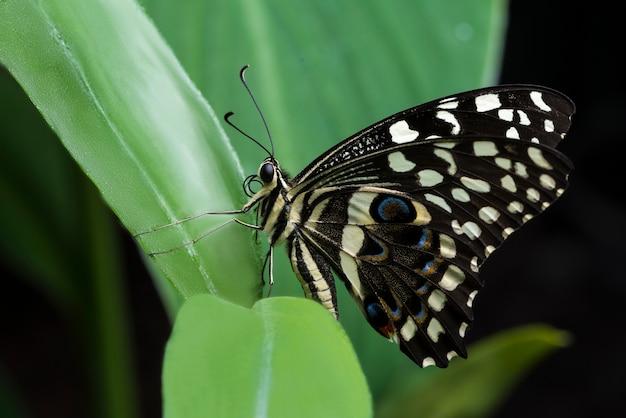 Farfalla buckeye posta sulla foglia Foto Gratuite