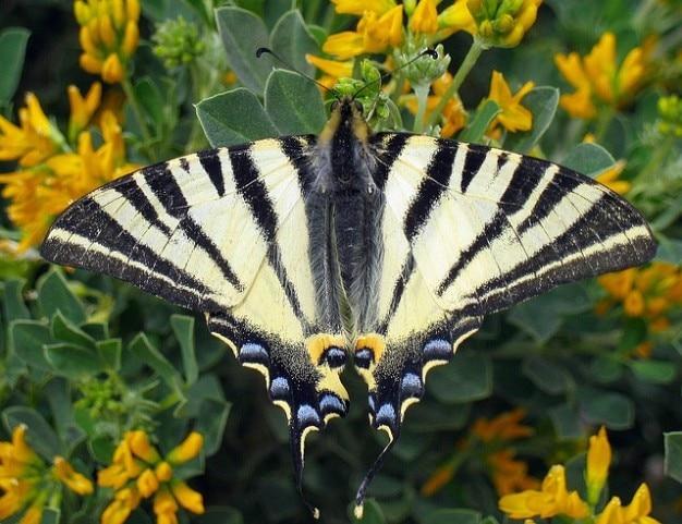 Farfalla di coda forcuta scarsa iphiclides podalirius Foto Gratuite