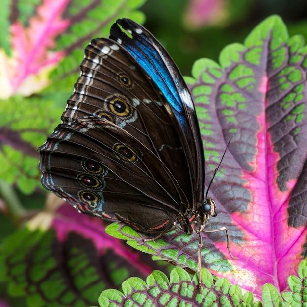 Farfalla morpho blu vista laterale Foto Gratuite