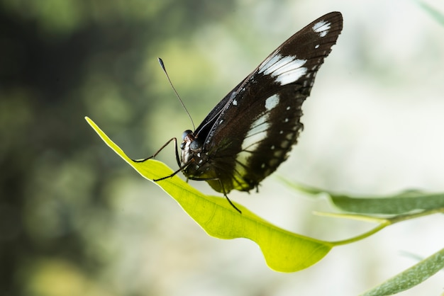 Farfalla nera con sfondo sfocato Foto Gratuite