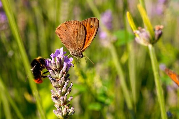 Farfalla su fiori di lavanda Foto Premium