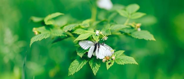 Farfalle bianche sulla priorità bassa della natura dei fiori. farfalla di cavolo Foto Premium