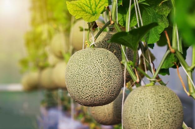Fattoria di melone cantalupo giapponese Foto Premium