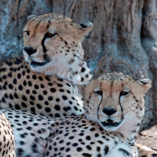 Fauna selvatica dei ghepardi in kenya Foto Premium