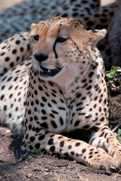 Fauna selvatica del ghepardo in kenya Foto Premium