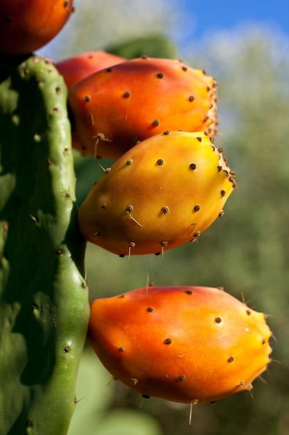 Fichi d'india su cactus Foto Premium