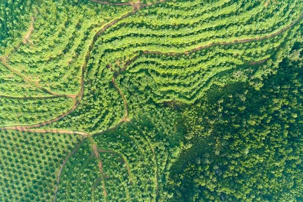 Fila del giardino della piantagione della palma sull'alta montagna in phang nga tailandia Foto Premium