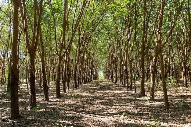 Fila di alberi di gomma para. piantagione di gomma Foto Premium