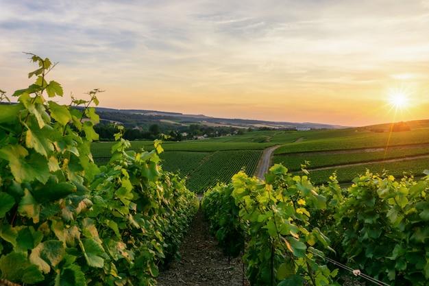 Fila l'uva della vite nelle vigne dello champagne al villaggio della campagna di montagne de reims Foto Premium