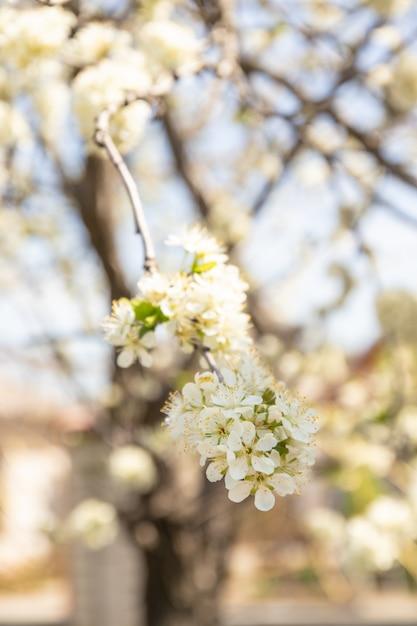 Fine del fiore di melo della primavera su Foto Premium