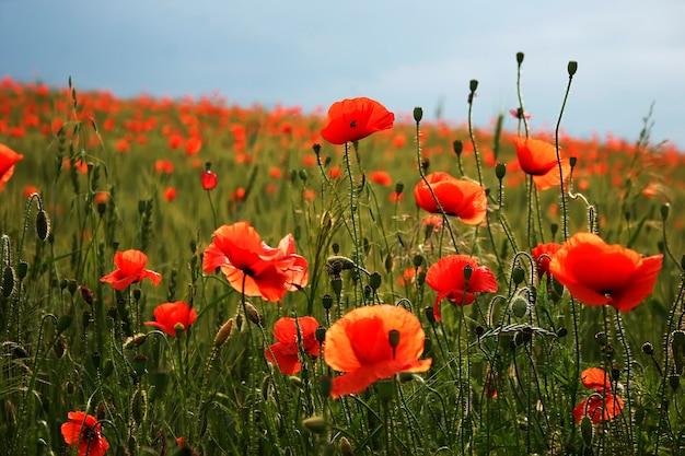 Fine spettacolare spettacolare della fioritura dei papaveri nel campo del papavero Foto Premium