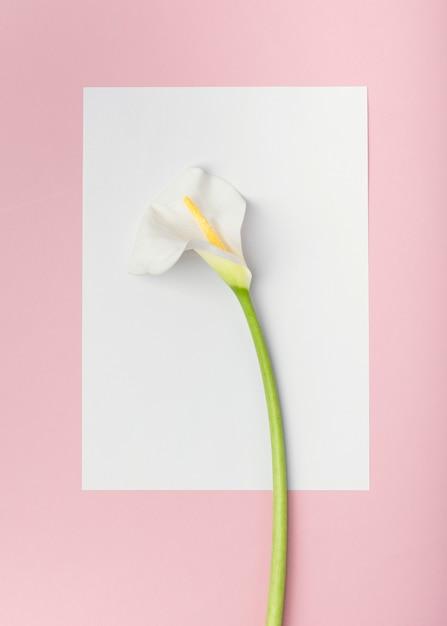 Fiore bianco del giglio di calla di vista superiore sulla carta di carta vuota bianca Foto Gratuite