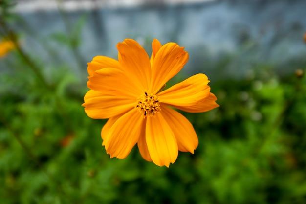 Fiore cosmo arancione in giardino Foto Gratuite
