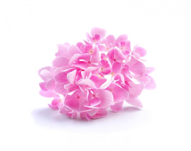 Fiore dell'ortensia su fondo bianco Foto Premium