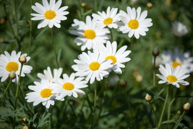 Fiore della margherita bianca con luce solare nel giardino Foto Premium