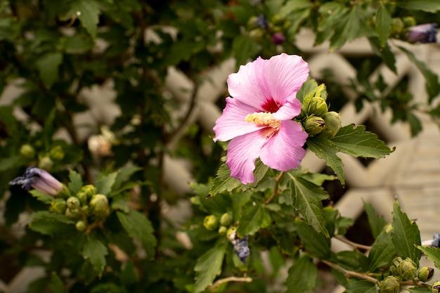 Fiore della rosa di rosa sul ramo e sulla foglia Foto Premium