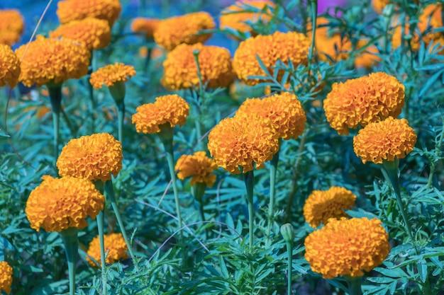 Fiore di calendula in campo. Foto Premium