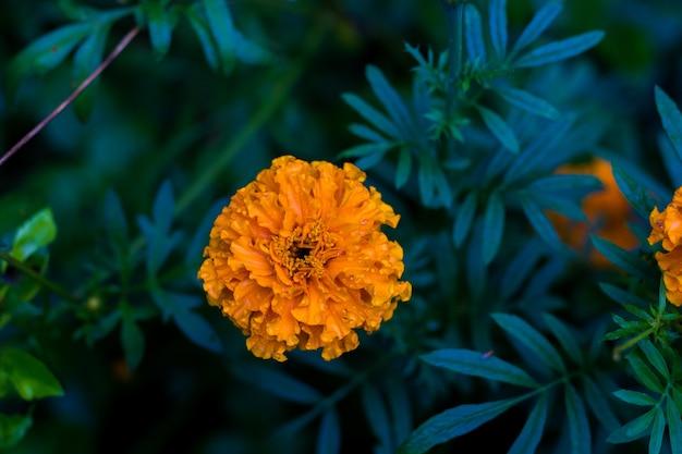 Fiore di calendula Foto Premium